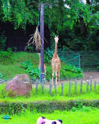 🌸 3 #lifelessons from a #giraffe ➡️ 🌿Reach new heights , ➡️ 🌿Celebrate your spots, and ➡️🌿 Stay humble!  Happy #worldgiraffeday 😍 and have a great week ahead, fam ❤ . . . .  #photography📷 National Zoo, Kuala Lumpur ☺ #everythingenchantingphotography #malaysia #kualalumpur #travelphotography📷  . . . . . #wildlifephoto #wildernessculture #wildanimals #wildlifeonearth #wildlifeperfection #wilderness #wildlifephotos #giraffelove #everythingenchanting #travelblog #natureconnection #natureshooters #natureforall #visitmalaysia